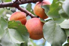 Abricot sur la branche d'arbre Photos stock