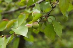 Abricot vert Photos libres de droits
