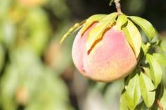 Abricotier avec des fruits Images libres de droits