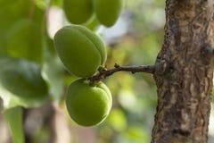 Abricotier avec l'élevage de fruits non mûr dans le jardin Photo libre de droits