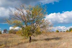 Abricotier branchu contre le ciel nuageux bleu à l'automne Image stock