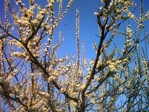 Abricotier de floraison avec le ciel bleu gentil photographie stock libre de droits