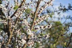 Abricotier de floraison dans le jardin Photos stock