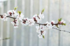 Abricotier de floraison dans le jardin Photographie stock
