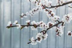 Abricotier de floraison dans le jardin Image stock