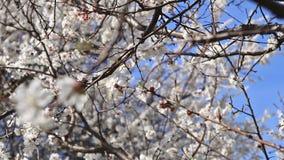 Abricotier de floraison sur le fond de ciel bleu clips vidéos