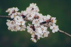 Abricotier en fleur Photo libre de droits