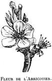 abricotier-fleur-OA Stock Photos