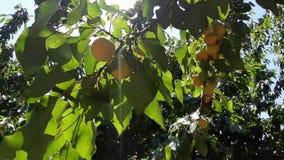 Abricotier ? la lumi?re du soleil Fruit mûr sur un arbre sous les rayons du soleil clips vidéos