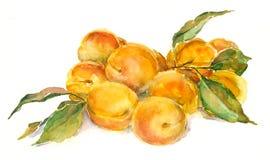 Abricots d'aquarelle Photographie stock libre de droits