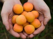 Abricots dans des mains Photo libre de droits