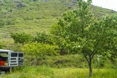 Abricots de cueillette Photographie stock