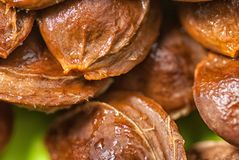 Abricots en gros plan d'os sur un macro tir de fond vert photos stock