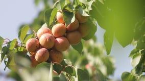Abricots frais sur un arbre banque de vidéos