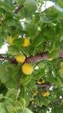 Abricots jaunes s'élevant sur l'arbre Image stock
