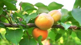 Abricots mûrs dans le verger banque de vidéos