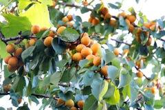 Abricots mûrs sur un arbre Photographie stock