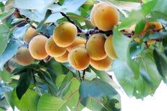 Abricots mûrs sur un arbre Images libres de droits