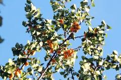 Abricots mûrs sur un arbre Images stock