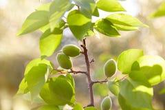 Abricots non mûrs verts sur une branche d'arbre images stock