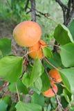 abricots oranges Semi-mûrs sur l'arbre dans un verger image libre de droits