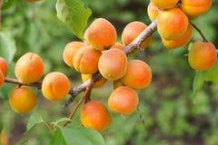 Abricots organiques mûrs accrochant sur un abricotier Images libres de droits