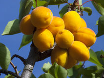 Abricots sur l'arbre Images libres de droits
