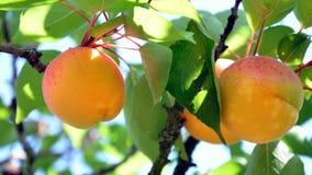 Abricots sur l'arbre Photo stock