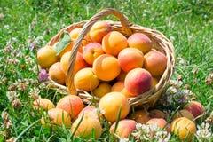 Abricots sur l'herbe avec un panier Photographie stock