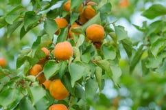Abricots sur une branche Abricots sur l'arbre Images libres de droits