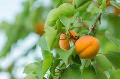 Abricots sur une branche Abricots sur l'arbre Photos libres de droits