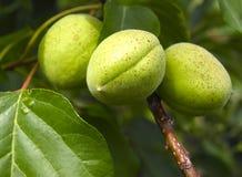 Abricots verts image libre de droits