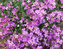 Abrieta Flowers. Garden bed of abrieta flowers Royalty Free Stock Images