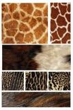 Abrigo de pieles de un tigre Fotos de archivo libres de regalías