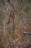 Abrigo inoperante e ramos retorcidos com videiras inoperantes fotografia de stock