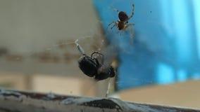 Abrigue a aranha que prepara uma mosca para para comê-la video estoque