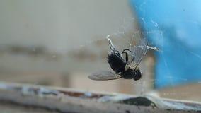 Abrigue a aranha que prepara uma mosca para para comê-la, cobrindo a cabeça da rapina com a seda filme