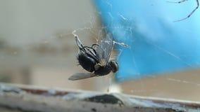 Abrigue a aranha que prepara uma mosca para para comê-la, cobrindo a cabeça da rapina com a seda e dando algumas mordidas mortais filme