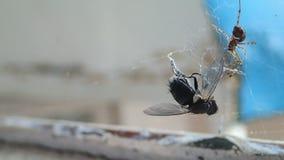 Abrigue a aranha que prepara uma mosca para para comê-la, dando algumas mordidas mortais filme
