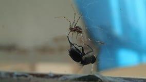 Abrigue a aranha que prepara uma mosca para para comê-la, dando o primeiro morde aos pés filme