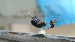 Abrigue a aranha que prepara uma mosca para para comê-la em sua Web filme