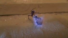 Abrigue a aranha que tenta preparar uma lagarta para para comê-la filme