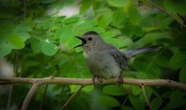 Abrigue el Catbird de la isla que canta entre las hojas verdes en rama Fotografía de archivo libre de regalías