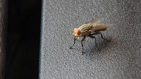 Abrigue a mosca Foto de Stock