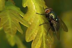 Abrigue a mosca Imagem de Stock