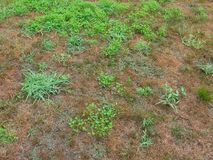 Abrigue o gramado dianteiro sobre a corrida pela digitária e pelas ervas daninhas imagem de stock royalty free