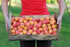 abrikoos Royalty-vrije Stock Afbeelding