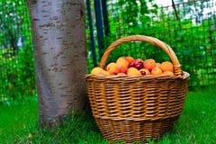 abrikoos Stock Foto