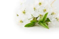 Abrikoos bloeien geïsoleerd op een witte achtergrond Stock Foto