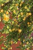 Abrikoos in de zonnige middag Royalty-vrije Stock Afbeeldingen